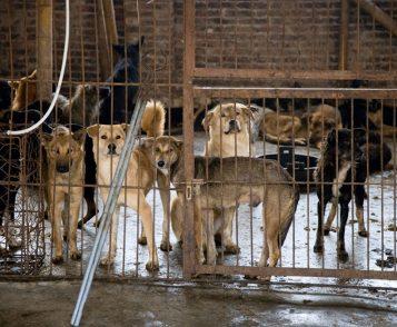 Website Honden voor de vleesindustie in China
